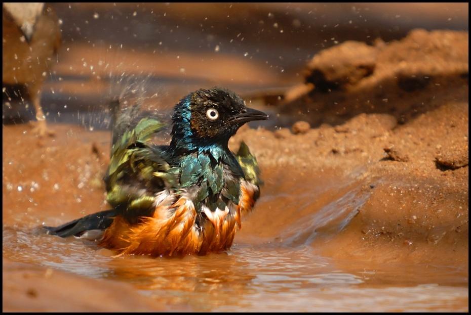 Błyszczak rudobrzuchy Ptaki błyszczak Nikon D200 Sigma APO 50-500mm f/4-6.3 HSM Etiopia 0 ptak woda fauna kaczka dziób dzikiej przyrody wodny ptak pióro kaczki gęsi i łabędzie odbicie