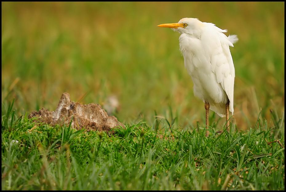 Czapla złotawa Ptaki Nikon D200 Sigma APO 50-500mm f/4-6.3 HSM Etiopia 0 ptak dziób ekosystem fauna trawa egret dzikiej przyrody łąka Ciconiiformes ecoregion