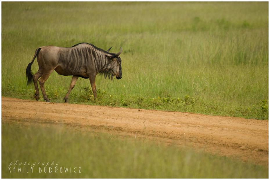 samotne gnu drodze Zwierzęta Nikon D700 Sigma APO 50-500mm f/4-6.3 HSM Tanzania 0 dzikiej przyrody łąka fauna ekosystem pastwisko pasący się preria trawa Równina