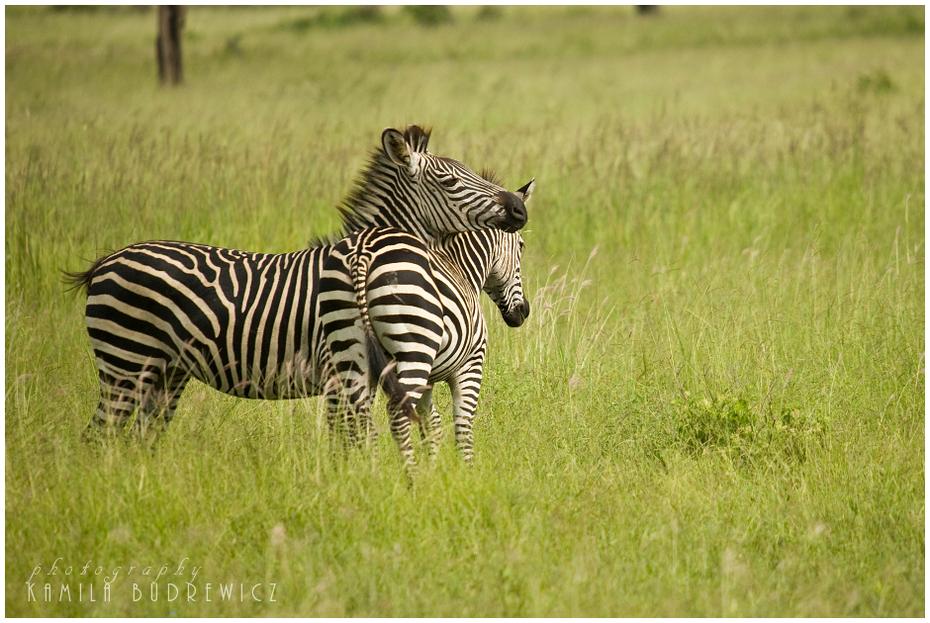 zeberki Zwierzęta Nikon D700 Sigma APO 50-500mm f/4-6.3 HSM Tanzania 0 dzikiej przyrody łąka zebra zwierzę lądowe ekosystem fauna trawa pustynia sawanna pasący się