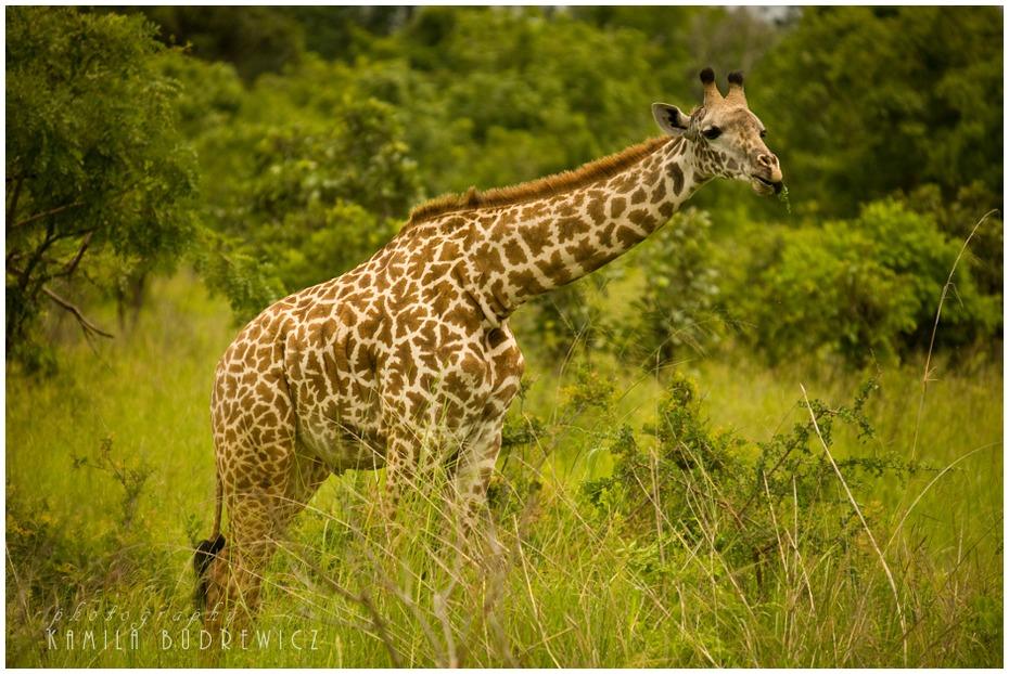 Mloda zyrafa