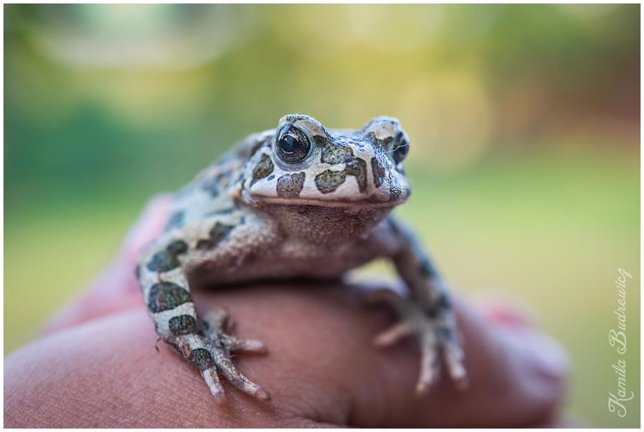 zaklęta żabę Zwierzęta nikon d750 Nikon AF-S Micro Nikkor 60mm f/2.8G ropucha żaba płaz fauna oko ścieśniać fotografia makro zwierzę lądowe ranidae organizm