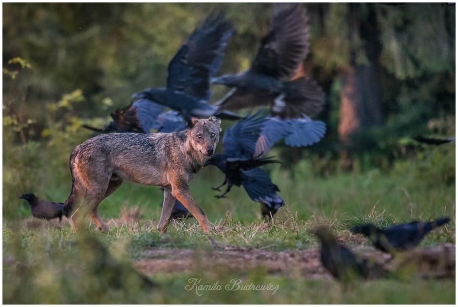 """wilk """"masce"""" kruków Bieszczady- lato 0 nikon d750 Sigma APO 500mm f/4.5 DG/HSM dzikiej przyrody szakal fauna ssak pies jak ssak kojot dhole Wilk Likaon pictus"""