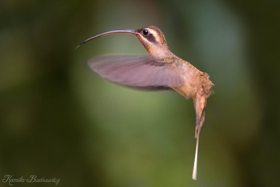 Pustelnik długodzioby Panama 0 nikon d750 Sigma 150-600mm f/5-6.3 HSM ptak koliber fauna dziób dzikiej przyrody flora coraciiformes ranek skrzydło zapylacz
