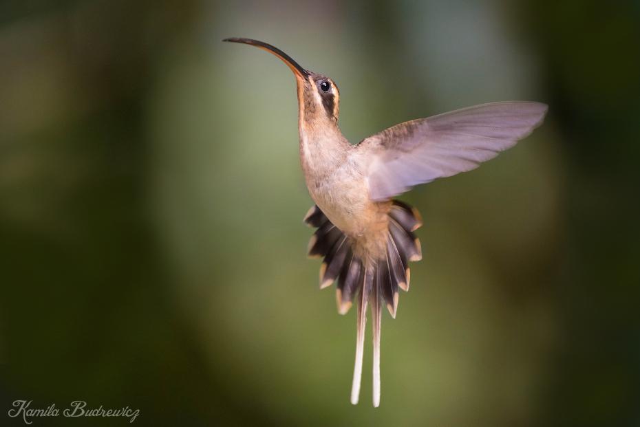 Pustelnik długodzioby Panama 0 nikon d750 Sigma 150-600mm f/5-6.3 HSM ptak koliber fauna dzikiej przyrody dziób ranek skrzydło zapylacz coraciiformes Gałązka