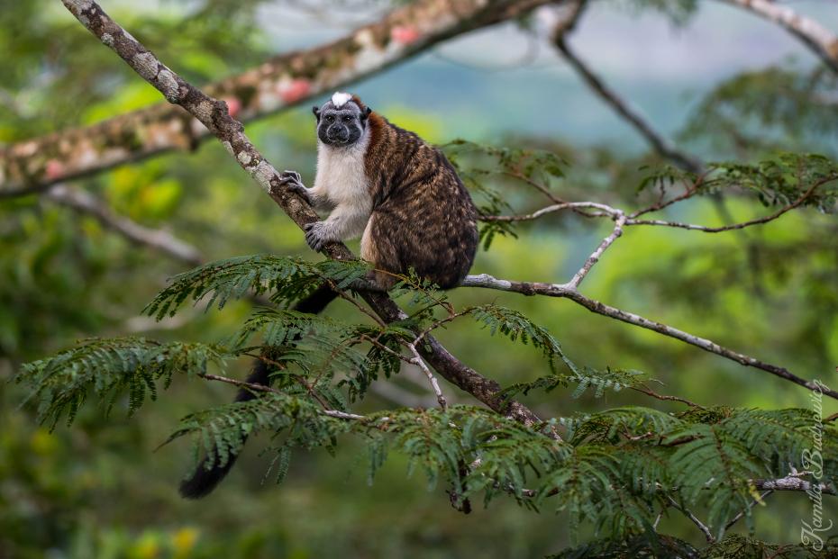 Długouszka Panama 0 nikon d750 Nikkor AF-S 70-200 f/4.0G ptak fauna ekosystem dziób dzikiej przyrody nowa małpa świata drzewo gałąź pazurczatka ptak drapieżny