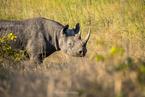 Etosha - nosorożec