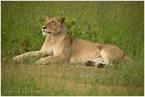 wylegująca się na słońcu lwica