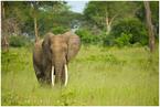 samotny słoń