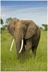 wędrówka słonia