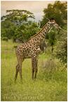 Młoda żyrafka|escape
