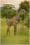 Młoda żyrafka
