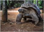 Wielki Żółw Seszelski