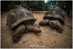 wielkie żółwie seszelskie